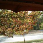Looking directly out front toward the highway, with a colorful oak (?) that lives in our front yard.