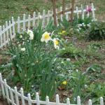 April 6, 2014: Some Daffodils and Jonquil that were planted in the Winter of 2012-13.